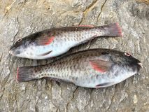 Surowej ryba ` vieja ` Zdjęcia Stock