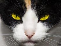 Surowi, drapieżczy zli kotów oczy, Zdjęcia Stock
