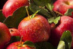 Surowi Organicznie Czerwoni Galowi jabłka Zdjęcia Royalty Free