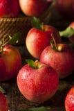 Surowi Organicznie Czerwoni Galowi jabłka Zdjęcia Stock
