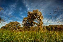 Surowo Przegięty i Kręcony Nabrzeżny Dębowy drzewo Zdjęcia Royalty Free