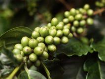 surowy fasoli (1) coffe Obrazy Stock