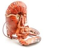 Surowy homar Fotografia Royalty Free