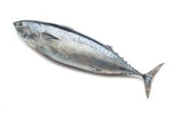 surowy tuńczyk Fotografia Stock