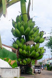 Surowy winogradu banan Obraz Stock