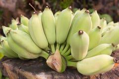 Surowy zielony banan w ogródzie Zdjęcie Royalty Free