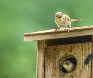 Surpresa pequena do pássaro Fotografia de Stock Royalty Free