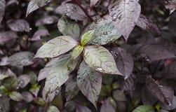 Surpresa perto acima das folhas do roxo e do verde imagem de stock
