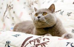 Surprise!. Closeup  british cat with orange eyes staring at something Stock Image