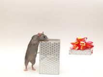 Surprise. Very clever beautiful nice domestic rats Royalty Free Stock Photo