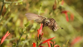 Surprise !. Closing in on a flower, a Hummingbird seems to provide a surprise visit Stock Images
