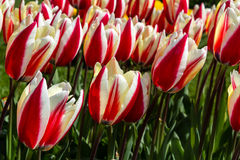 Surprise de ressort de Tulipa Images stock