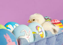Surprise in an egg carton. An adorable baby chick in middle of Easter eggs Stock Images