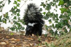 Striped Skunk Mephitis mephitis in defensive posture. Stock Photos