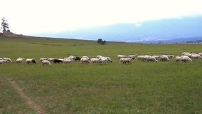 Surprise-herd sheep in tourism. stock footage