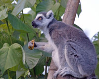 Surprise. The look of a Ring-tailed Lemur whose lunch is interrupted by a telemaketing call Royalty Free Stock Photography