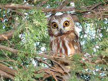 Surprised Saw-Whet Owl Stock Photos