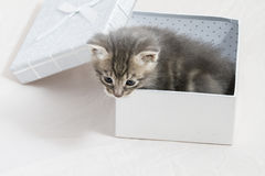 surprise, small kitten stuck in a gift box, cuddly animal sweet Royalty Free Stock Photos