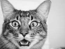 Surprised Alley cat. Facial expression right when the food bowl came out royalty free stock photography