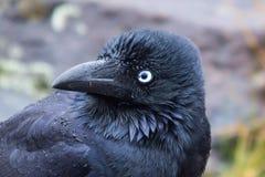 Surprised Australian Raven. Australian raven with a surprised expression (latin Corvus coronoides Stock Photo