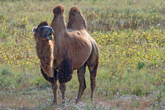 Surprised bactrian camel (Camelus bactrianus) Royalty Free Stock Image