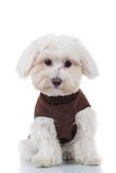 Surprised bichon puppy sitting. On white background Stock Photo