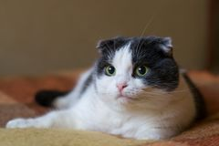 A surprised funny cat with eyes wide open lies on the plaid on the bed Royalty Free Stock Photo