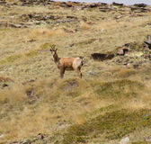 A surprised chamois. When the chamois is surprised by a hiker in the mountains stock image