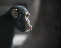 Surprised chimpanzee. Chimpanzee funny face looking surprised stock images