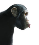 Surprised chimpanzee isolated on white. Chimpanzee's surprised funny face isolated on white with clipping path stock photography