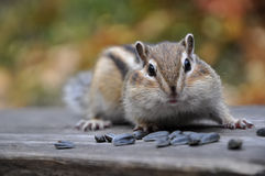 Surprised chipmunk seeds Stock Photography