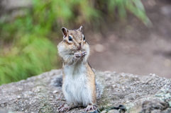 Surprised chipmunk tamias sibiricus Stock Photo
