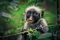 Monkey red colobus, surprise, endemic royalty free stock photo