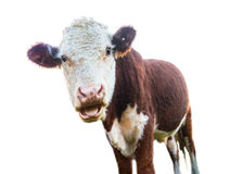 Surprised cow Stock Photography