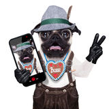 Surprised crazy bavarian dog. Silly crazy  pug dog dressed up as bavarian with gingerbread as collar, isolated on white background, and victory or peace fingers Stock Image