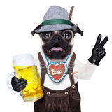 Surprised crazy bavarian dog. Silly crazy  pug dog dressed up as bavarian with gingerbread as collar, isolated on white background, and victory or peace fingers Royalty Free Stock Image