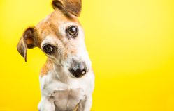 Surprised curious lovely dog portrait on yellow background. stock image
