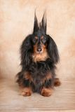 Surprised Dachshund Royalty Free Stock Photography