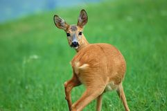 Surprised doe Royalty Free Stock Photography