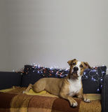 Surprised dog on couch in living room with christmas tree set an Royalty Free Stock Image