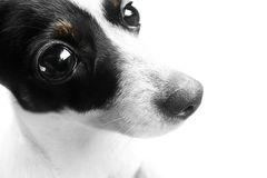 Surprised Dog Face. Mini Fox Terrier Dog With A Wide Eyed Look Of Bewilderment Stock Photography