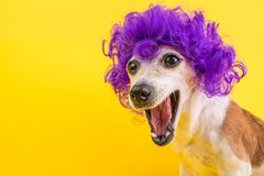 Surprised dog face in lilac curly wig. Yellow bright background. Emotional pet muzzle. royalty free stock photos
