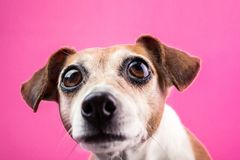 Surprised dog with large expressive bulging eyes on pink background stock images