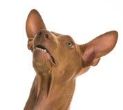 Surprised dog Stock Photos
