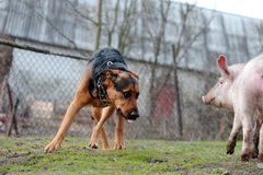 Surprised dog and pig. Looking each on the other royalty free stock photos