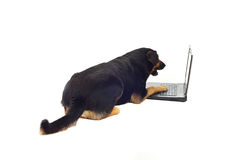 Surprised dog using laptop Royalty Free Stock Photography