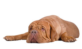 Surprised Dogue de bordeaux looking up Royalty Free Stock Images