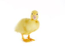 Surprised Duckling Royalty Free Stock Photography