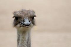 Surprised Emu. Portrait of an native Australian Emu royalty free stock image