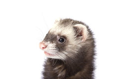 The surprised face ferret Stock Images